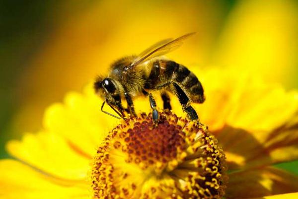 bee pollen6
